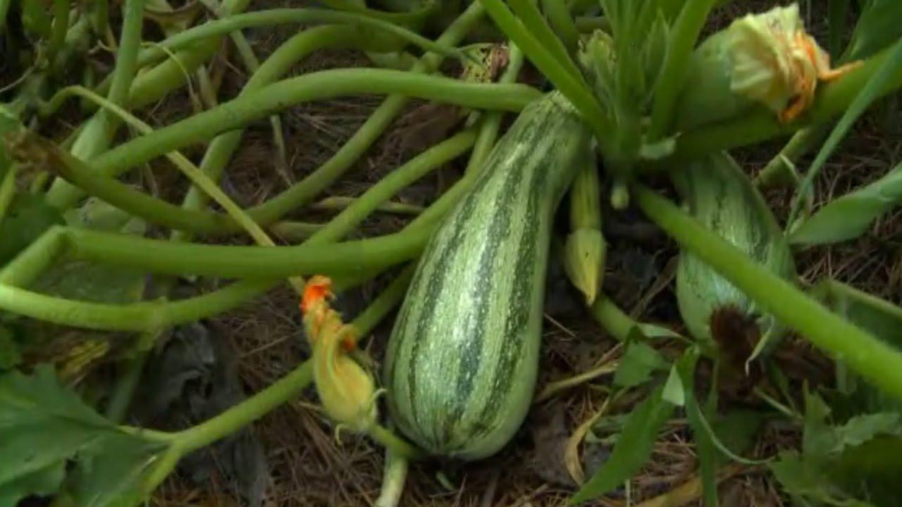 Growing Zucchini Youtube