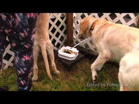 Unbelievable Dog Training!  Golden Retrievers make Amazing Service Dogs