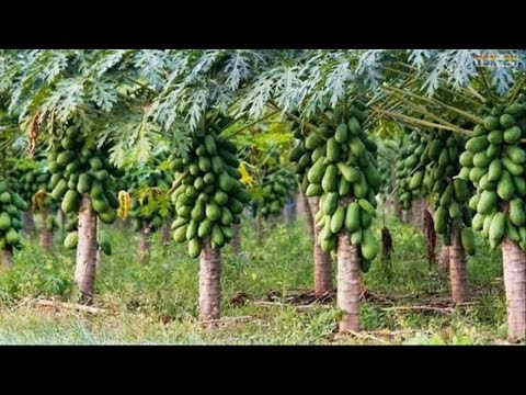 WOW! Amazing Agriculture Technology - Papaya