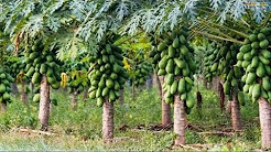 WOW! Amazing Agriculture Technology - Papaya