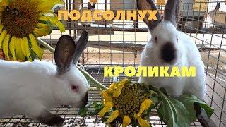 Подсолнух - минеральная добавка к рациону кролика
