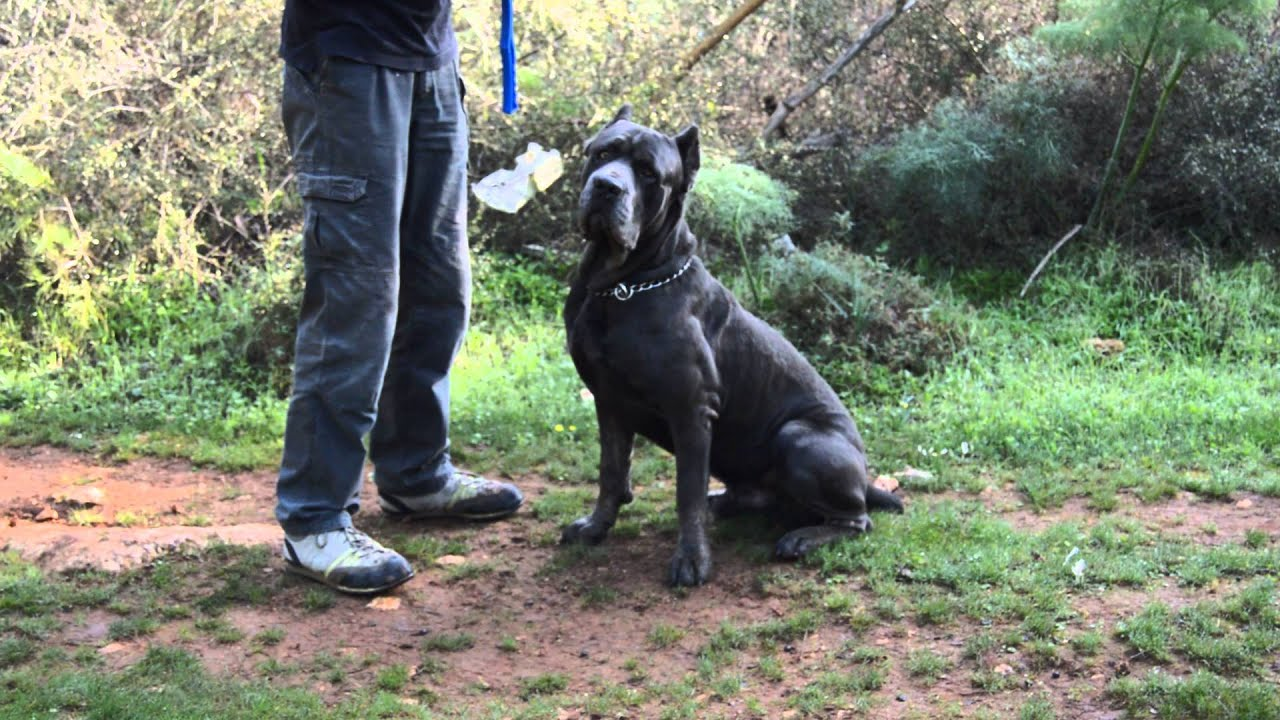Cane Corso Obedience Training Youtube