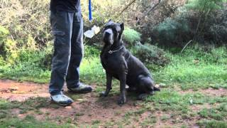 Cane Corso Obedience Training