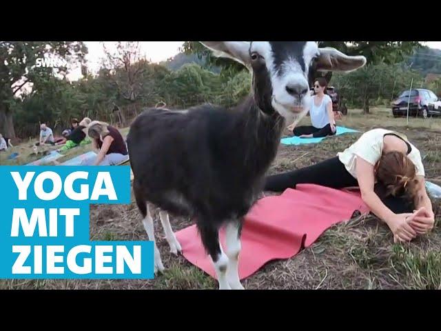 Yoga mit Ziegen - eine besondere Art der Entspannung