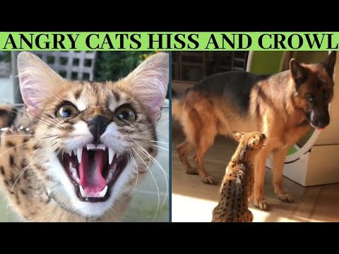 Angry cats hiss and growl compilation