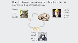 Understanding Primate Brain Development Using Stem Cell Systems