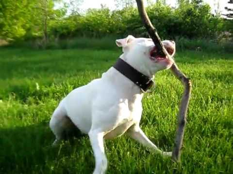 Funny dog vs. huge stick!! (CodyThePitbull)