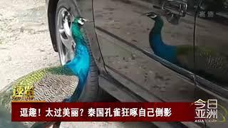 [今日亚洲]速览 逗趣!太过美丽?泰国孔雀狂啄自己倒影| CCTV中文国际