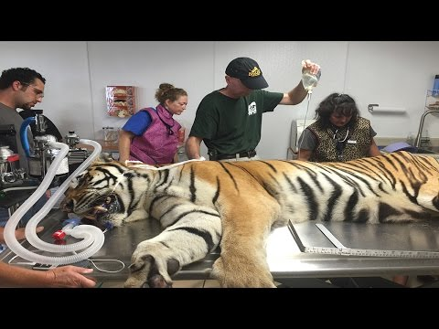 Alex Tiger Gets A Visit From The Vet