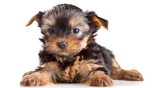 Yorkshire Terriers: Potty Training Yorkshire Terriers  - Free Mini Course Yorkshire Terriers