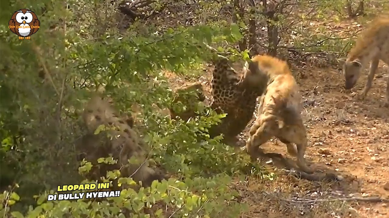 Tanpa Rasa Takkut, Secara Brutal Kawanan Hyena Ini Mengerroyok Leopard Tanpa Ampun!!