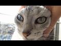 ちょっと気まずい猫 ~母ちゃんと喧嘩からの照れながらのお出迎え -Cat most welcomed her owner