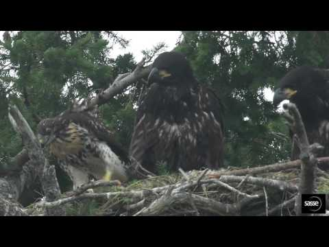 Thumbnail: Eagle pulled by the head! - Eagle Hawk nest 20 June 2017 Sidney B.C.