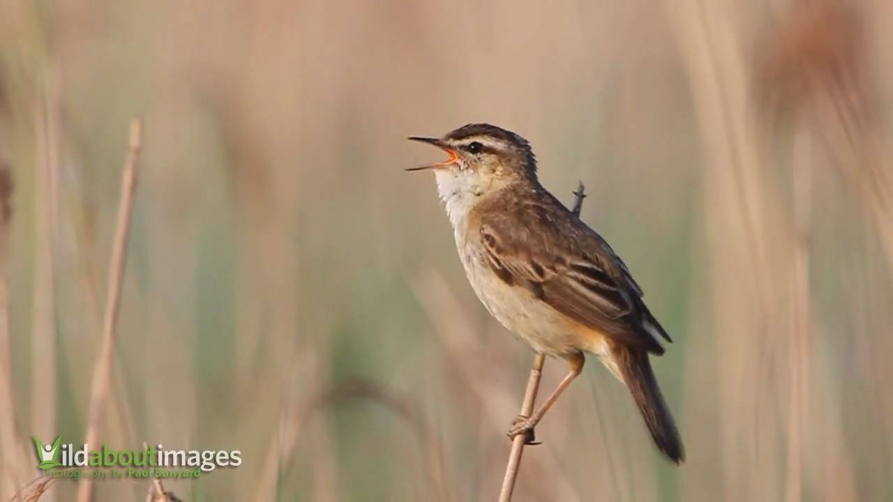 Sedge Warbler Youtube