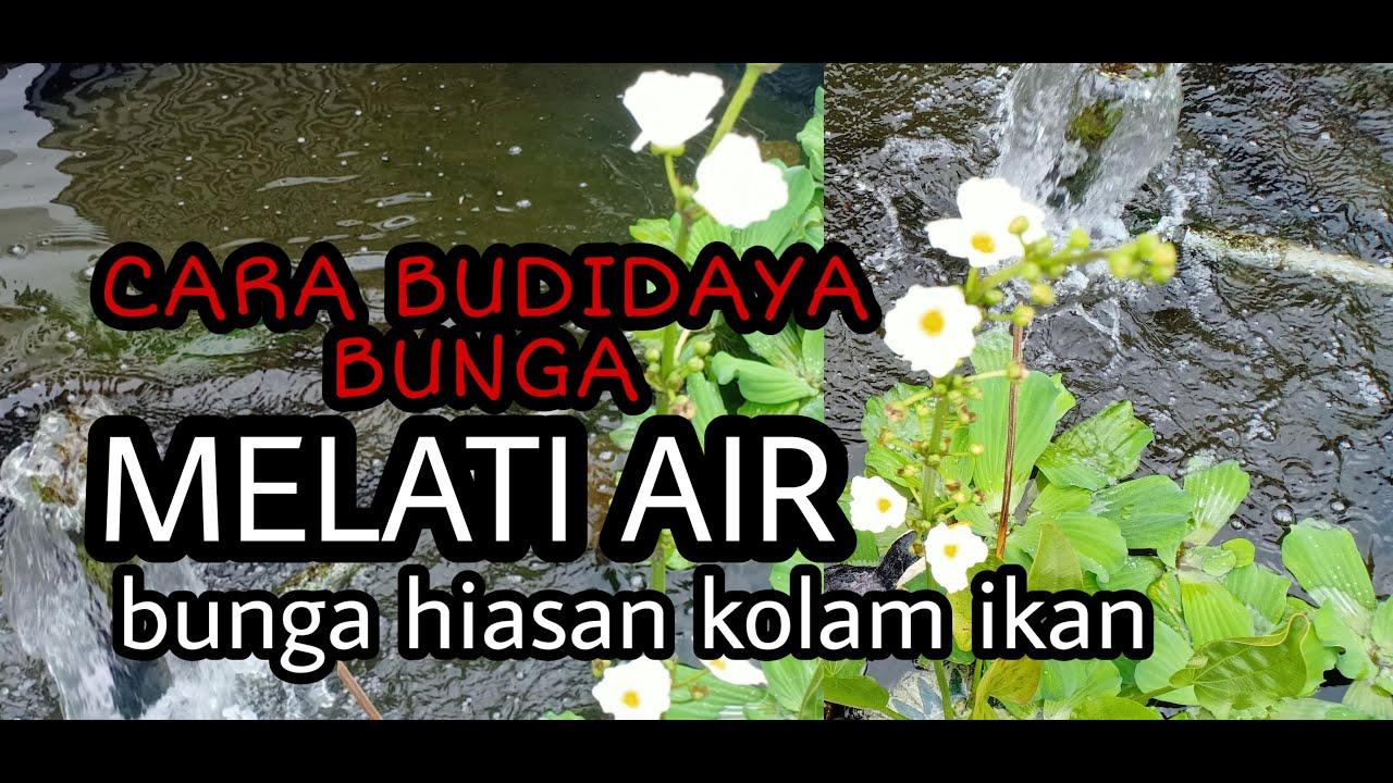 Cara Menanam Bibit Bunga Melati Air Tanaman Air Melati Air Youtube