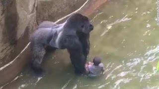 Download Gorila ataca criança e é morto em zoologico Mp3