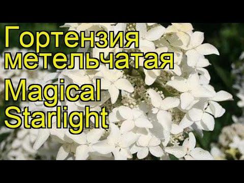 Гортензия метельчатая Меджикал Старлайт. Краткий обзор hydrangea paniculata Magical Starlight