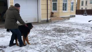 Бурят монгольский волкодав охрана 2 занятие