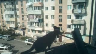 Ворон ругает кошку