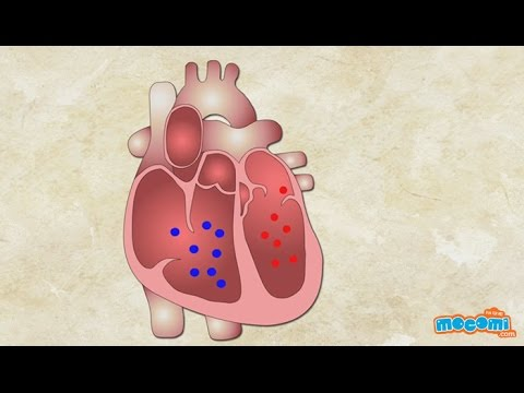 How does the Heart Work? Human Body Science for Kids   Kids Education by Mocomi