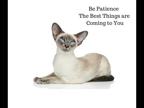 playful-cat-|-siamese-cat-|-cats-|-siamese-|-cute-cat|-lovely-cat|-funny-cat|-cat-playing-right-now