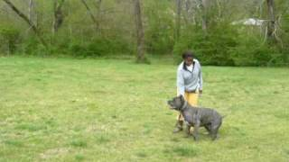 La Onda / Scandifio's Damian Cane Corso Training Schutzhund I Protection Training