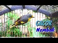 Masteran Mantenan Kuning Gacor Nembak Isian Mewah Toman Net  Mp3 - Mp4 Download