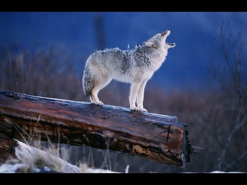 Nature Documentary - Amazing Wildlife of Alaska - Documentary