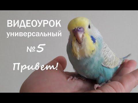 """🎧 Учим попугая говорить. Урок 5: """"Привет!"""""""