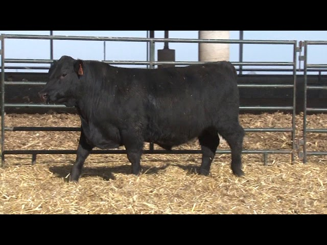 Schiefelbein Angus Farms Lot 34