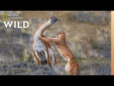 207a507e0c0 Puma Battles Guanaco, With a Surprise Ending | Nat Geo Wild - YouTube