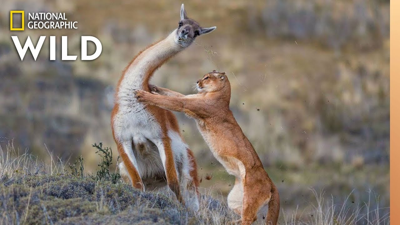Puma Battles Guanaco, With a Surprise Ending | Nat Geo Wild