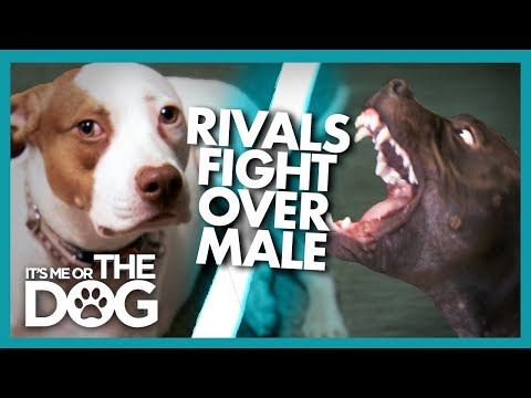 Could Jealousy be the Cause of These Dogs' Fights?    It's Me or The Dog