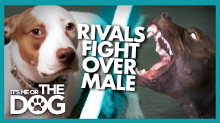 Could Jealousy be the Cause of These Dogs' Fights? |  It's Me or The Dog