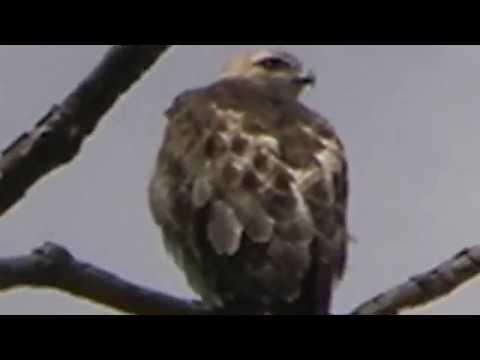 Redtail Hawk in Brookdale Park MOV08F