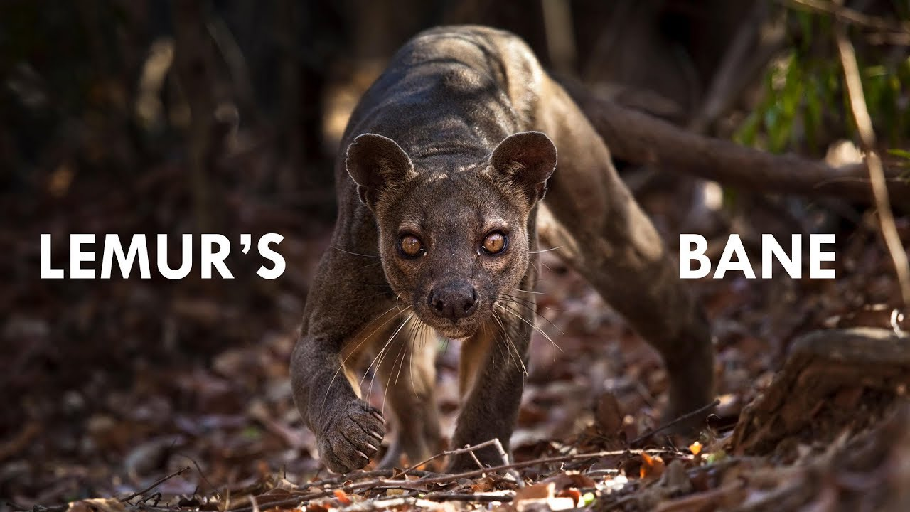 fossa the king of madagascar youtube