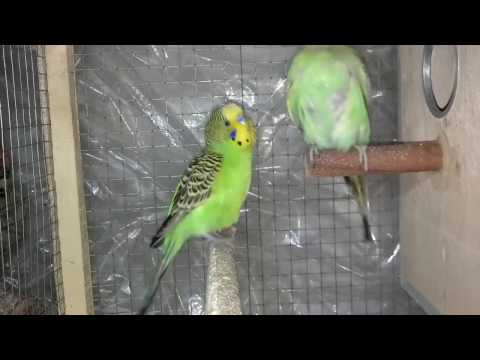 how to know if budgies are mating