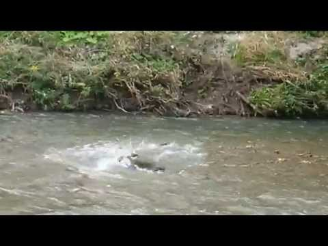 Salmon Run @ East Don River Trail, North York, Toronto on Oct 2,15 (3)