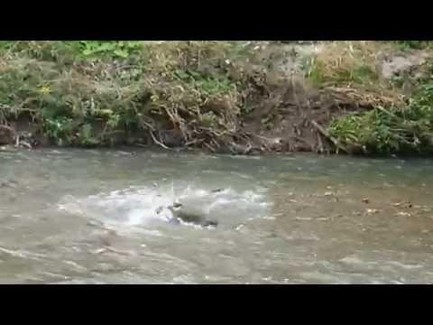 Salmon Run @ East Don River Trail, North York, Toronto on Oct 2,15 (3)