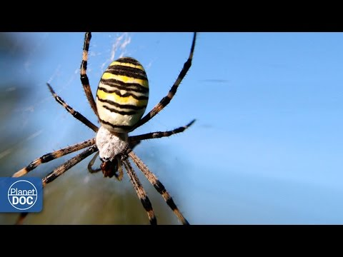 Poisonous Spider Argiope Youtube