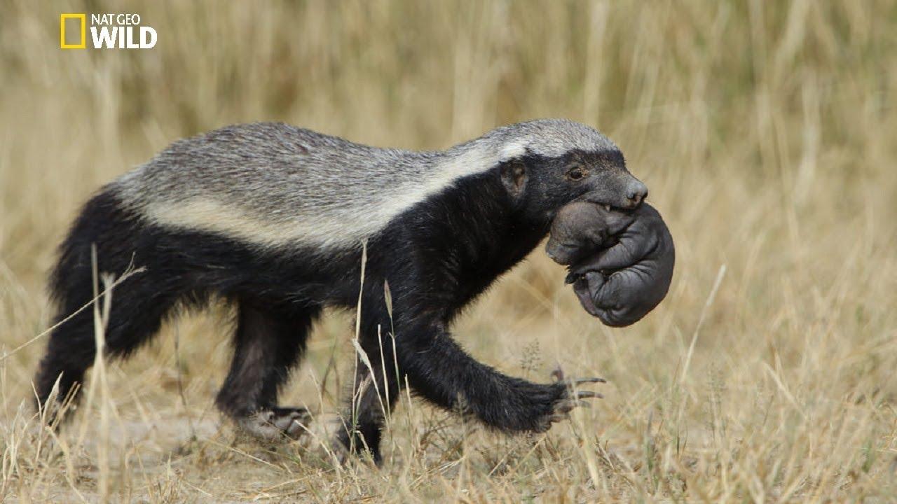 National geographic Documentary - Honey Badger - New ...