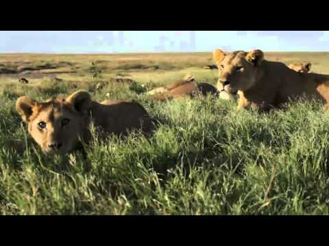 The Serengeti Lion . National Geographic Magazine