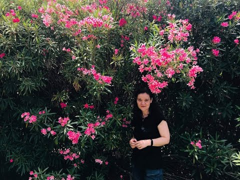 Leandrul - cum mentinem florile prin fertilizari si udari  #ingrijireaflorilor