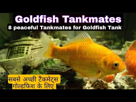 Goldfish Tankmates 8 Goldfish Peacefull Tankmates Hindi Urdu English Sub #Goldfish