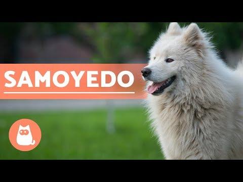 El Perro Samoyedo - Historia, Características Y Cuidados