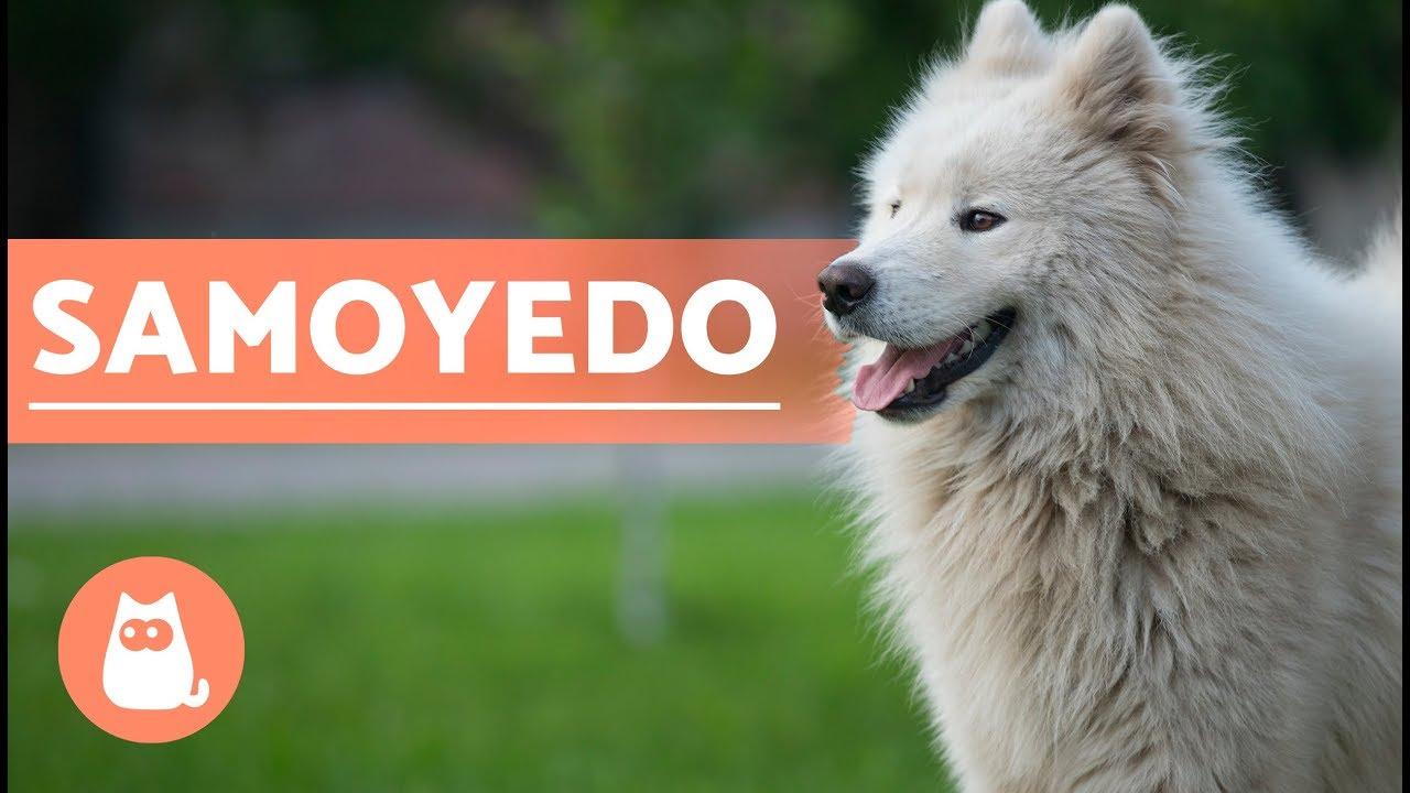 El Perro Samoyedo Historia Caracter 237 Sticas Y Cuidados