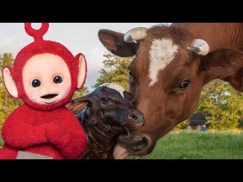Teletubbies English Episodes - Cows and Calves ★ Full Episode 172
