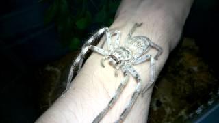 Giant Huntsman Spider Handling.