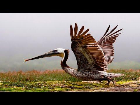 10 Beautiful Moment Of Brown Pelican   Full HD