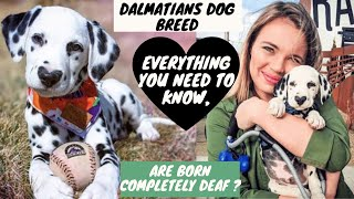 Dalmatians Dog Breed are Born completely Deaf? Everything you Need to Know, Right here in BholaShola